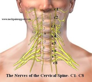 The nerves of the cervical spine