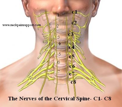 The Normal Cervical Curve In The Neck Neck Pain Support Blog