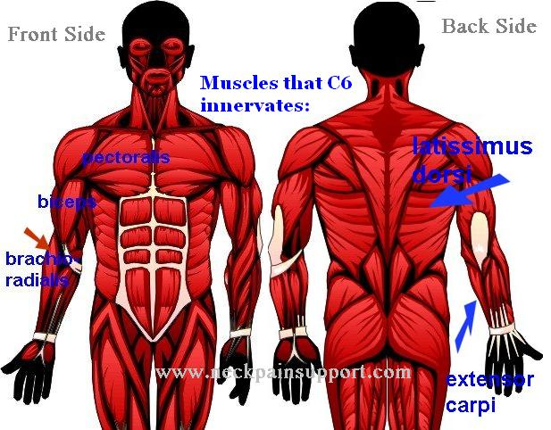 C6 nerve root muscles front and back