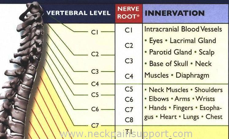 C1-C7 Nerve Root  Innervation