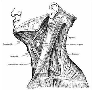 Muscles of the neck2