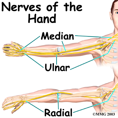 The Radial and Ulnar Nerves