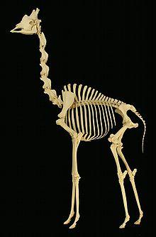 The neck of a giraffe
