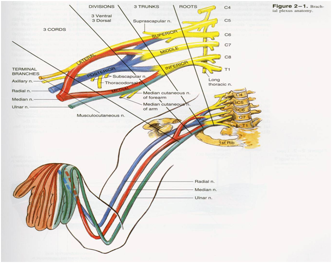 Innervation of upper extremity