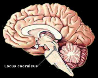 Locus Coeruleus - the part of the brain that is damaged with sleep deprivation