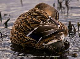 Feathers of a duck