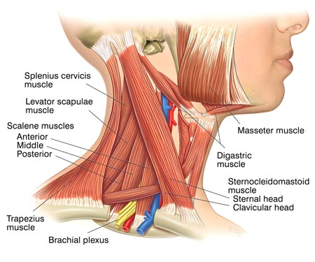 Muscles of the neck associated with a Stiff Neck